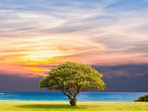 Coastal tree with sun set
